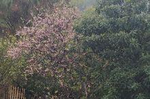 今日立春,是24节气第一个节气,经过昨日中小雨洗礼后,今日烟雾缭绕梦里木香,迎来了春天