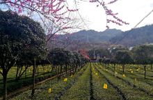 安康市平利县龙头村,三月的茶园,空气里都有清香。春的颜色:嫩绿的茶芽,粉红的桃花,金黄的油菜花,鸟的