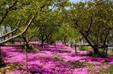 宿迁市洋河新区:河畔繁花相映红 最美人间四月天     人间四月天,春暖花开,繁花似锦。在江苏省宿迁