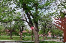 板栗公园里的古老板栗树。