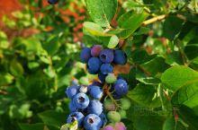 感觉已经把入园费吃回来了 万家欢蓝莓庄园
