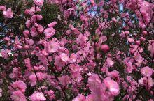 樱花季节,漠河的樱花
