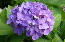這個季節到日本九州隨處可見繡球花,美極了!!!