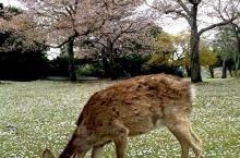 【日本赏樱特辑系列】第4篇•奈良篇 奈良距京都一小时车程 是个交通方便 可轻松闲逛的好地方 只需要半