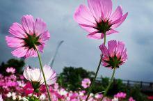 陽光照耀下的波斯菊花海,花瓣呈現出漂亮的透明質感