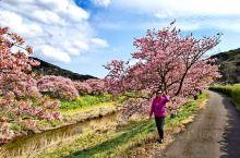 日本的伊豆半岛被称为日本的小夏威夷,是日本人的渡假胜地,这组樱花是南伊豆的早樱品种(河津樱),粉红色