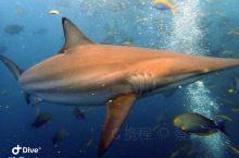 马尔代夫深南线潜水,东南亚潜水难度前几的线路。 真的虎鲨、灰礁鲨、金鲨、海豚、manta、鹰鳐大货不