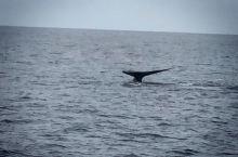 斯里兰卡南部省观蓝鲸 运气太好看到好几十条蓝鲸 世界上最大的哺乳动物