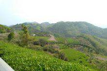 山顶的茶园和山下的红豆杉