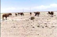 民丰   戈壁    野骆驼