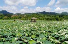 【为荷而来】千年莲乡,万人瑜伽,夏天来了,又是阳光明媚的花花世界