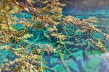 黄山归来不看山,九寨归来不看水。这句话毫不夸张,九寨沟的水确实是美,不但清澈,而且色彩斑斓,而且一年