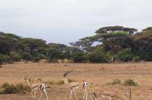 安博塞利的辽阔、宁静、祥和、地貌变化多样、放眼丰沛物种遍野、闲停坐看路边兽与驱车奔袭快节奏的乐感交替