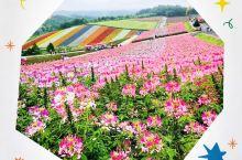 夏天的北海道富良野的花海是一定要看的,因为交通问题订了一个一日游。     行程主要是北西之秋、四季