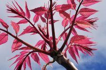 现在是新西兰香椿树盛装的季节,你种草了吗