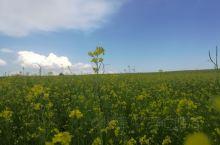 这是蒙古乌兰察布一路上的风景,有好多的油菜花地,油菜花开得非常的茂盛,这个季节非常的适合在开车在草原
