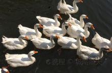 在天台山琼台仙谷景区感受峡谷中的阵阵清风,白鹅点缀着碧水,浮云依恋着山岚,瀑布飞溅而下奔向远方,唯有