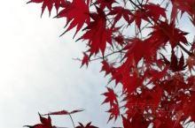 邳州市张楼庙山红枫林公园,枫叶红的真迷人 邳州市思源桥超市