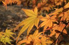 红叶知秋。 红叶是秋天的符号。当树叶从单纯的绿色变得五彩斑斓的时候,我们就知道,秋天来了。秋天天高云