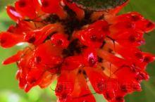 晶莹剔透构树果 美味玲珑玛瑙实  每年的夏季这如火花般的构树果实鲜艳欲滴 第一次见到的时候 感觉很奇