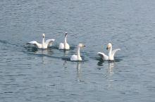 """真实版""""天鹅湖""""上演 目前来威海越冬的大天鹅已经近万只,明年2月底到3月将再次北迁。成千上万只大天鹅"""