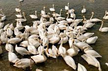 冬游威海之打卡第一站——天鹅湖|成山镇的天鹅湖绝对是冬季有威海不能错过的,这个绝对尤其是针对喜欢摄影