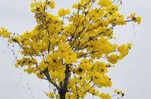 明天黄花,惊蛰时节。