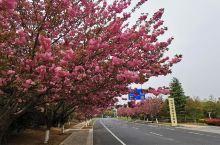 午后散步镜头下的汤山一角 鹤寿路的一地晚樱 中央湖畔的绣球花,作为扬州市花,在南京汤山也可以欣赏到哇