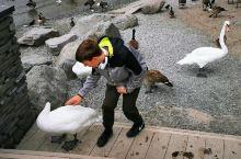 温德米尔湖畔的天鹅