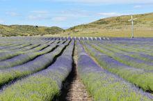 【新西兰 | 沐浴在南半球的薰衣草花海里】  从特卡波湖到库克山的路途中有一大片薰衣草农场。一排排整