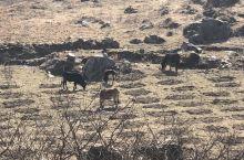 路很好开,有几处要注意落石,一路可以看到很多猪马牛羊,景区即将商业开发,趁现在还可以看到最原始的景,