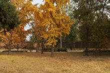 金黄的银杏树,草坪。秋天的色彩
