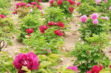 戚城公园牡丹花
