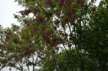 满树的紫花