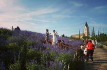 养马岛南龙湖北中国海公园里的薰衣草开了,吸引了众多游人。
