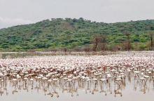【火烈鸟】 肯尼亚🇰🇪博格利亚湖是东非大裂谷中众多盐水湖之一,因为其湖水富含碳酸钙,湖中盛产藻类,是