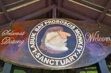 长鼻猴保护中心里,一只猴王带领着一群妻妾在阴凉处等待喂食,突然发现有几个流浪汉在旁边虎视眈眈,于是走