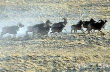 说起野生动物也许你会想到非洲,其实藏北地区也是动物的天堂。这里也是极少数几块完好的自然生态陆地之一。