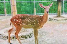 这里是柃蜜小镇的动物园。它是咸宁市的第一家动物园,非洲狮、亚洲熊、西北狼、梅花鹿、孔雀、鸵鸟、羊驼等