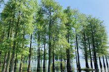 湿地水杉林!