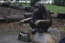 看到阿明就对了 那是新加坡动物园明星