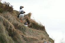 Dyrholaey迪霍拉里看超萌国鸟,大师们的长焦就是为了它。中文,海鹦鹉 英文,puffin 冰岛