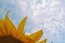 【黄山周边游】刷爆盆友圈的向日葵花田    上周就看盆友圈晒蜀源的向日葵陆续开了,国庆刚好得空,两个