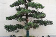今天在自家的院子里栽了一棵罗汉松树