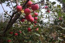 密云新城子蔡家店村的苹果种植历史悠久,今天去采摘苹果,还获得了山楂,鸭梨,鹅蛋,收获满满!