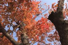 不用去日本也能在北京赏枫 罗马湖有一株枫树独自在湖边 还有一棵别的红叶树,我叫不上名字 整个秋天最美
