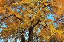 """中国千年银杏谷位于湖北随州洛阳镇,连绵的银杏树,让人目不暇给。千年银杏古树,高大挺拔,金黄灿烂。""""情"""