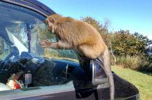 野猴,红山樱构成美丽新中横公路