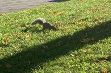 蒙特利尔的小精灵-松鼠随处可见,主要是这里到处都是绿树成荫,随处掉下的果实种子足够养活这批城市小居民