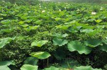 微山湖的四季          微山湖被称为北方水乡和齐鲁明珠,国家定点保护湿地。
